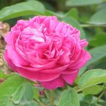 Rose water, gulab jal, rosa damascena, damask rose, acne, skin toning, eye health