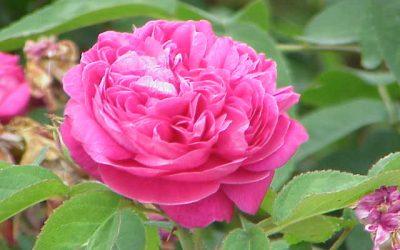 Rose Water or Gulab Jal