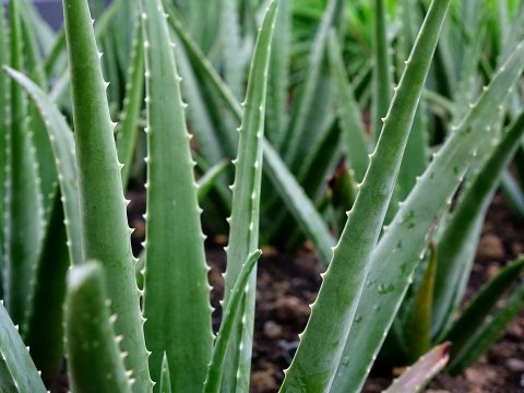 aloe-vera-plant, benefits of aloe vera gel for skin. Aloe gel has wound healing ability. Its antiseptic properties facilitate in healing burns and wounds.
