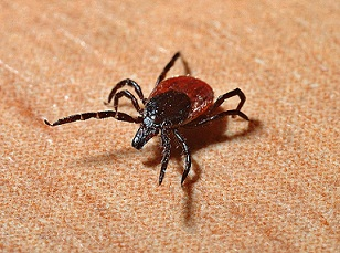 Deer ticks gets infected by feeding on deer or mice already infected with the bacteria Borrelia burgdorferi. Humans are infected with Lyme disease from infected tick bite on the skin.